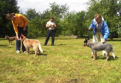Artikkel Austraalia karjakoerte esimene kokkutulek näitus
