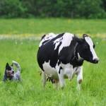 Austraalia karjakoer Chahama First Spot karjatamine