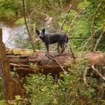 Austraalia karjakoer Cruela Kazari Toyo Ken metsas