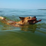 Austraalia karjakoer Koerustükk Red Dingo Daisy ujub