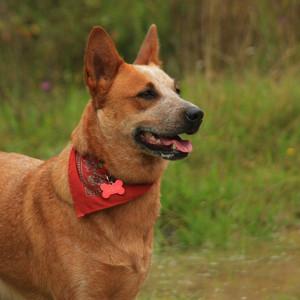 Austraalia karjakoer Koerustükk Red Dingo Indie