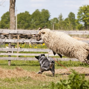 Austraalia karjakoer lambaid karjatamas