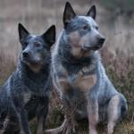 Austraalia karjakoerad Ella ja Muuki