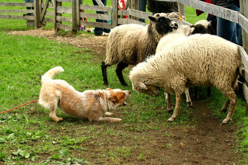 Lammas peab koerale alluma