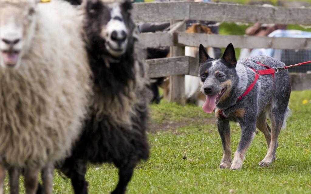 Cruela kazari toyo Ken Austraalia karjakoer lammastega karjatamas