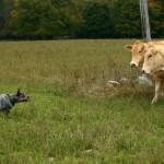 Saaremaal Veistega karjatamise infopäev austraalia karjakoer Jokker
