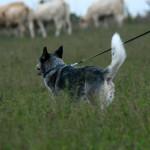 Veistega karjatamise infopäev austraalia karjakoer Berry liikumas karja poole