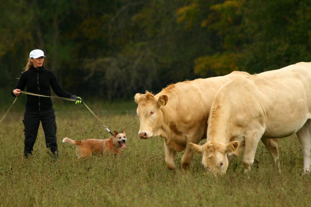 Veistega karjatamise infopäev austraalia karjakoer Daisy sunnib karja pöörama