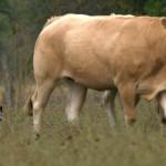 Veistega karjatamise infopäev austraalia karjakoer Ella veiste järel
