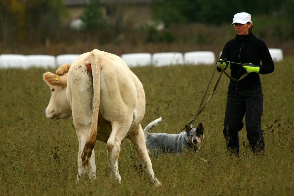 Veistega karjatamise infopäev austraalia karjakoer Juuli sätib eraldunud veist tagasi karja