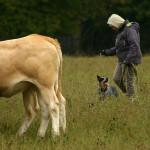 Veistega karjatamise infopäev austraalia karjakoer Raasuke kuulab perenaise õpetust