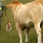 Veistega karjatamise infopäev austraalia karjakoer Simba veiseid ümber pööramas
