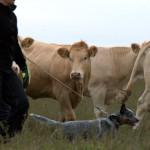 Veistega karjatamise infopäev austraalia karjakoer Vera rahulik töö