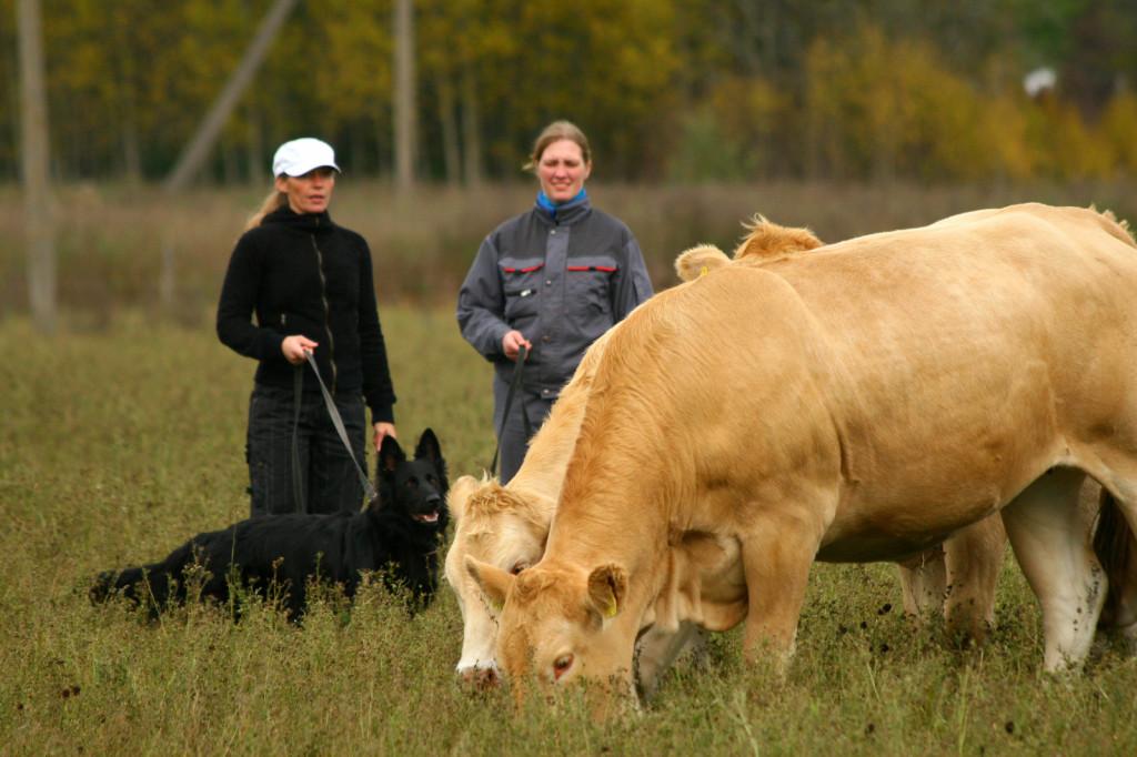Veistega karjatamise infopäev saksa lambakoer Estrellest Hurmuri Coffi (2)