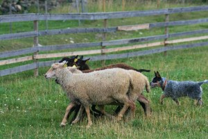 Wallaroo Riptide austraalia karjakoera kutsikas lammastega
