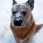 Koerustükk Red Dingo Ivanhoe (2)