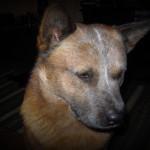 Koerustükk Red Dingo Ivanhoe (3)