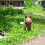 Koerustükk Red Dingo Ivanhoe (5)