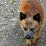 Koerustükk Red Dingo Ivanhoe (6)